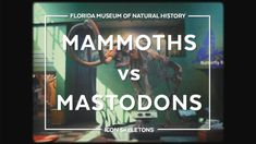 Visitors to the Florida Museum of Natural History are greeted by a Columbian mammoth discovered in the Aucilla River in northwe.