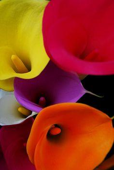 calla lily                                                                                                                                                                                 Plus