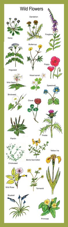 Common wild flowers found in Irish meadows and woodlands