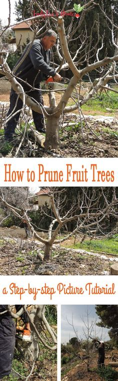 How to Prune Fruit Trees to Keep Them Small How to prune fruit trees right. Join me for a tutorial on why, when, and how to prune fruit trees to encourage healthy growth and fruitfulness. Prune Fruit, Pruning Fruit Trees, Tree Pruning, Pruning Plants, Fruit Tree Garden, Garden Trees, Herbs Garden, Garden Shrubs, Flowers Garden