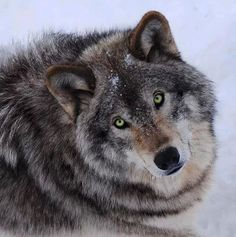 Wolf  How mysterious are these creatures amazingly beautiful!