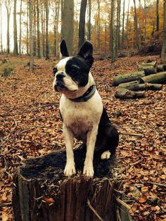 Jazz Boston Terrier | Pawshake Dietzenbach