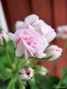 pelargone - Millfield Rose (sweden)