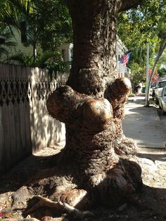 Large, old tree in Old Town, Key West.  Talk about bulges, this tree has them!