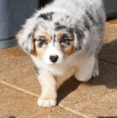 Lila, chien Berger australien