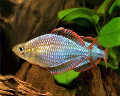 Dwarf Neon Rainbowfish, (Melanotaenia praecox)