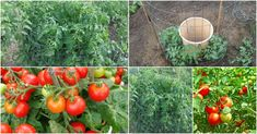 Revealed: the secret to growing juicy, tasty, high-yield tomatoes! How to finally get the tomato harvest of your dreams!