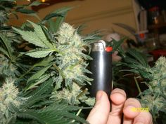 Photo by Chris Benoit Edibles Online, Harvest Season, Cannabis Oil, Medical Marijuana, Bud, Projects To Try, Organic, Window, Ship