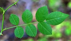 rose leaves - Google Search
