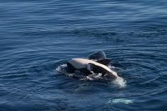 A baby orca plays by rolling around on top of its mother (photo by Kera Mathes)