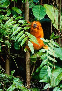 The golden lion tamarin, being rescued by an international breeding and reintroduction program, inhabits small areas of the almost totally destroyed rainforests of Atlantic coastal, Brazil. The Animals, Wildlife Photography, Animal Photography, Ocean Photography, Photography Tips, Wedding Photography, Most Beautiful Animals, Beautiful Creatures, Golden Lion Tamarin