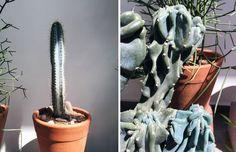 blue plants, gotta love them. Blue Plants, Cactus Y Suculentas, Plant Hanger, Vogue, Home Decor, Take Care, Nature, Garden, Orchid Types
