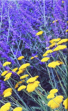 Flower Combinations for your Garden – Russian Sage and Yarrow ...
