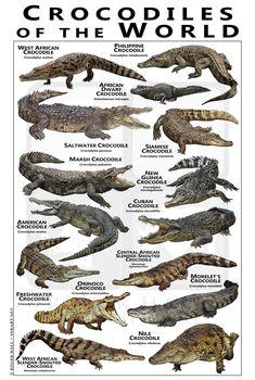 Crocodile Facts, Crocodile Pictures, Nile Crocodile, Saltwater Crocodile, Crocodile Animal, Animals Of The World, Animals And Pets, Cute Animals, American Crocodile