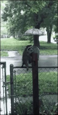 4gifs: A raccoon kit hides from the rain under an umbrella. They later gave it a snack. [video]