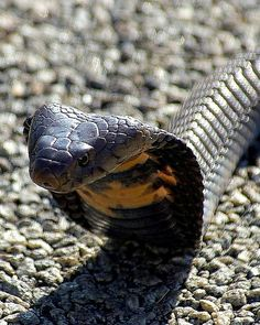 Mozambique Spitting Cobra I want to smooch it Snake Art, Pet Snake, Nature Animals, Animals And Pets, Cute Animals, Snake Venom, Beautiful Snakes, King Cobra, Reptiles And Amphibians