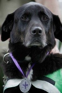 Sarbi, an explosives detection dog with the Australian Army, after receiving her Purple Cross.