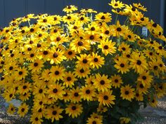 Black Eyed Susan (Rudbeckia Hirta) - these beautiful perennials enjoy full sun and are known to attract butterflies!