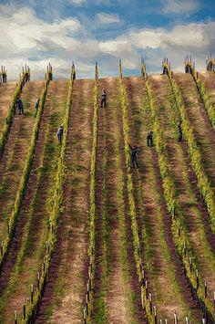 Vinedressers pruning in a vineyard on Sweet Water Springs Road, Sonoma County, California.