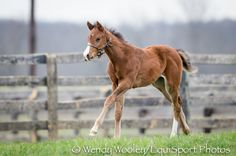 Filly born Feb. 12 at Three Sisters Farm Sire: Emcee Dam: Mula Mula (Gone West) Photography: Wendy Wooley/EquiSport Photos
