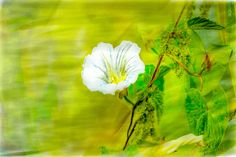 Climbing painterly. A white bindweed flower climbing on an other plant autumn 2015 in Sweden, Europe.