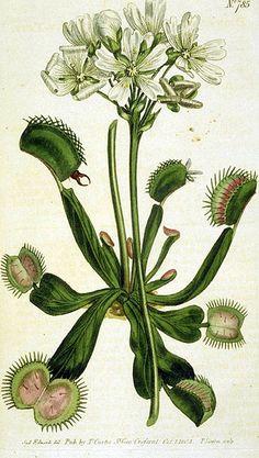 Venus Flytrap (Dionaea muscipula) by William Curtis, 1804.