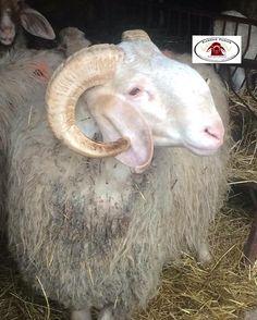 www.karrasfarm.com  Assaf dairy sheep, USA, Greece and Cyprus.