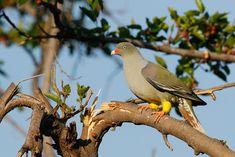 African Green Pigeon – Bird & Wildlife Photography by Richard and Eileen Flack Green Pigeon, Pigeon Bird, Dove Bird, Game Reserve, Wild And Free, Wildlife Photography, 26 September, African, Birds