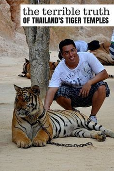 The Terrible Truths from Thailand's Tiger Temples - #thailand #tigers #animalrights