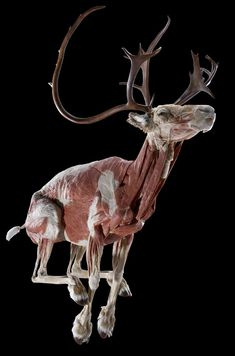 Reindeer Run  Credit:Gunther von Hagens_Institute for Plastination,  www.bodyworlds.com  A reindeer's body shape not only helps it cope with the harsh arctic conditions, it also helps them to survive attacks from predators. The muscles that power the legs are mounted close to the trunk, keeping the ends of the legs nice and light