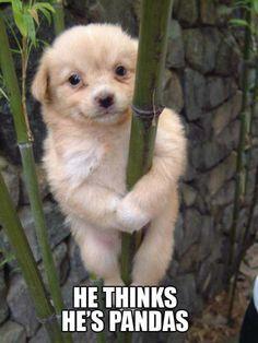 Puppy who thinks he is a panda!!! #meme