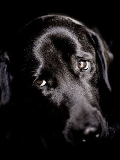 Stunning black labrador looking sad