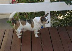 chihuahua corgi mix puppies for sale Corgi Chihuahua Mix, Chihuahua Breeds, Corgi Cross Breeds, Dog Crossbreeds, Cover Pics, Cover Picture, Cute Corgi, Different Dogs, Cute Creatures