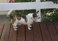 chihuahua corgi mix puppies for sale | Zoe Fans Blog