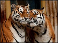 tigers cuddle...I hope you know and I really hope you feel the same way. ..xxxoooo