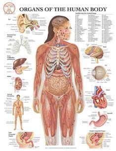 diagram of the human body internal organs | Anatomy | Pinterest ...