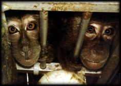 please sign very quick petition `British Government: Stop funding monkey experiments!