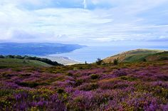 ...walk through the heather on the hill. ~ Heather and gorse on North Hill
