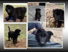Just over 2 months -all love and adventure   #Kenai  German Shepherd Dog