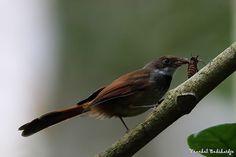 Rusty-bellied Fantail  (Rhipidura teysmanni)