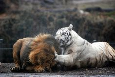 White tiger hits Lion | Flickr - Photo Sharing!
