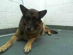 MINDY (A1646403) I am a female black and tan German Shepherd Dog.  The shelter staff think I am about 6 years old.  I was found as a stray and I may be available for adoption on 09/26/2014. — hier: Miami Dade County Animal Services. https://www.facebook.com/urgentdogsofmiami/photos/pb.191859757515102.-2207520000.1411342796./843515522349519/?type=3&theater