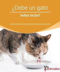 ¿Debe un gato beber leche? -Mejor con Mascotas  ¿Sabes cómo debes alimentar a tu mascota? ¿Debe un gato beber leche? Si no sabes la respuesta, lee este artículo.
