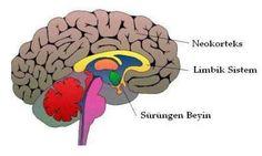 Beyinde psikolojik durumu belirleyen 2 merkez vardır. Beyin ön bölgesi, olayları akıl süzgecinden geçirerek mantıklı kararlar alınmasını sağlar. İnsan beyninin diğer canlılara göre en gelişmiş bölgesidir.