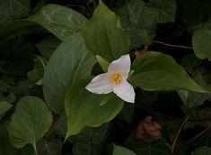 Trillium: The Wild Garden: Hansen's Northwest Native Plant Database