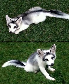 Rare Marble Foxes.