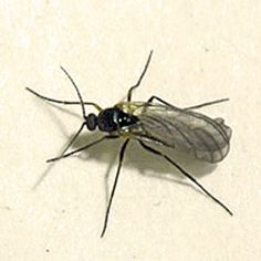 """""""Fungus gnats can appear in our houseplants when we let the soil stay too moist, the perfect breeding ground for these nuisances. You can usually cut back on watering your houseplants during the winter, but if you've got these pests already, here's how to get rid of 'em.""""...""""Both the larval and adult stages of this pest can spread plant pathogens in home gardens, greenhouses and interiorscapes. Here's how to get rid of fungus gnats naturally."""""""
