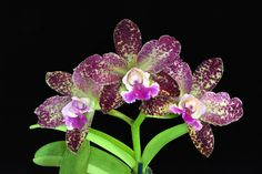 Inter-generic Orchid-hybrid Blc: BrassoLaelioCattleya Deception 'Glow'