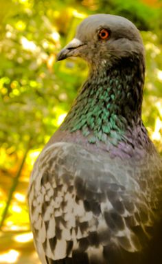 Pigeon... so close... so lovely... and her eyes damn... #bangalore #photography