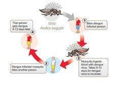 Dengue Fever transmission cycle